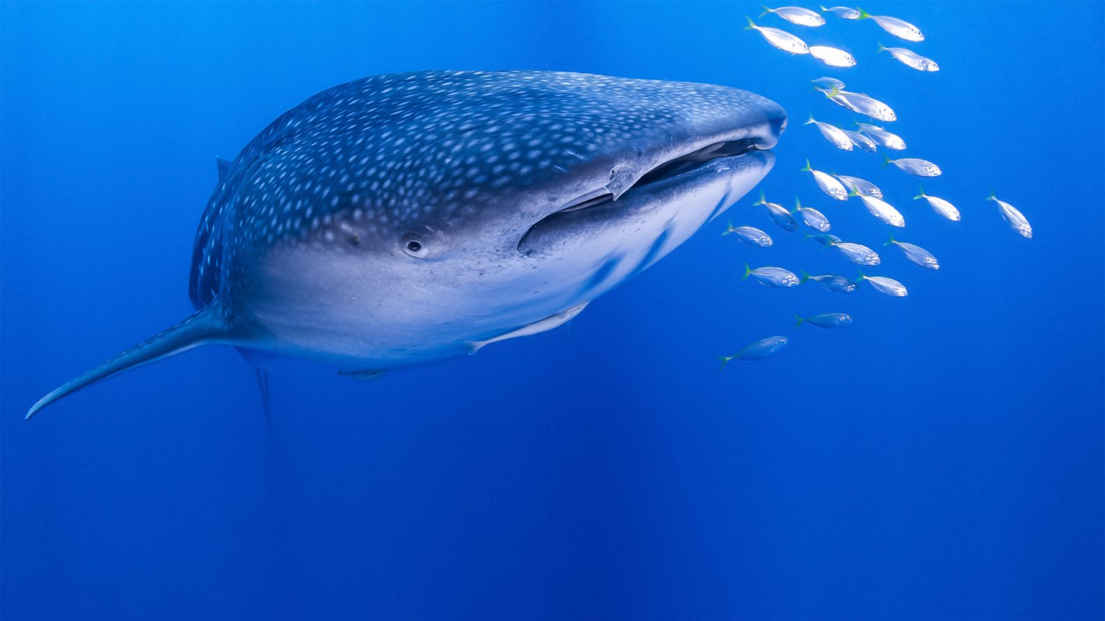 Club de Plongée Phuket Thaïlande - Croisières-Plongée - Requin baleine