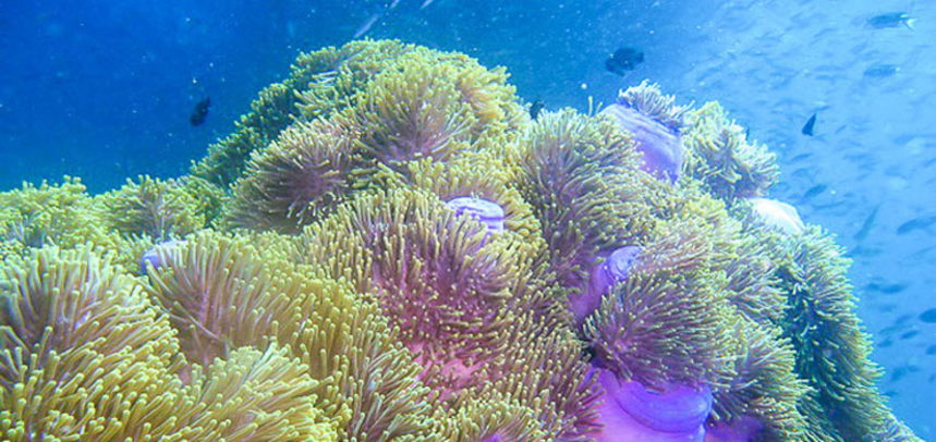 Anemone Reef diving - anemone & fishes