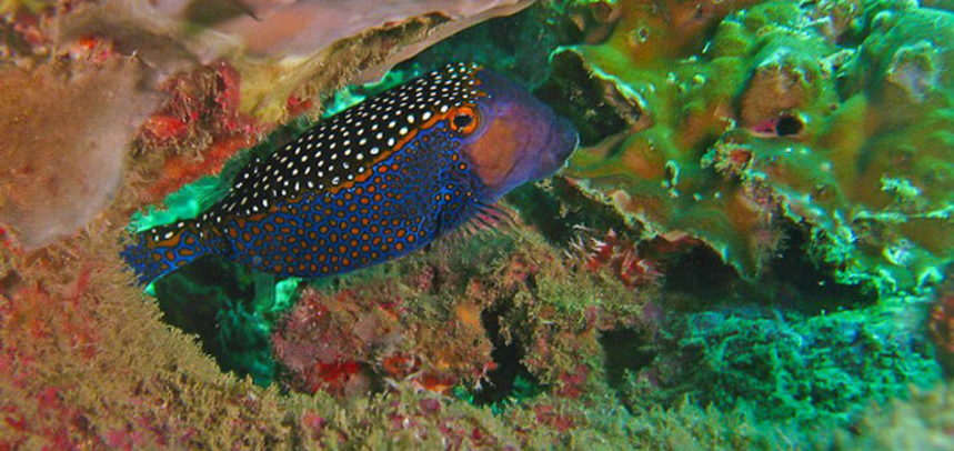Anemone Reef diving - box fish