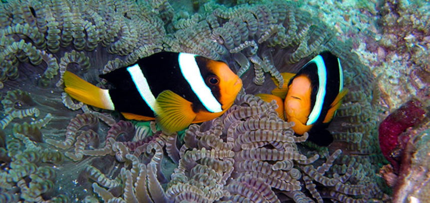 Anemone Reef diving - clown fishes