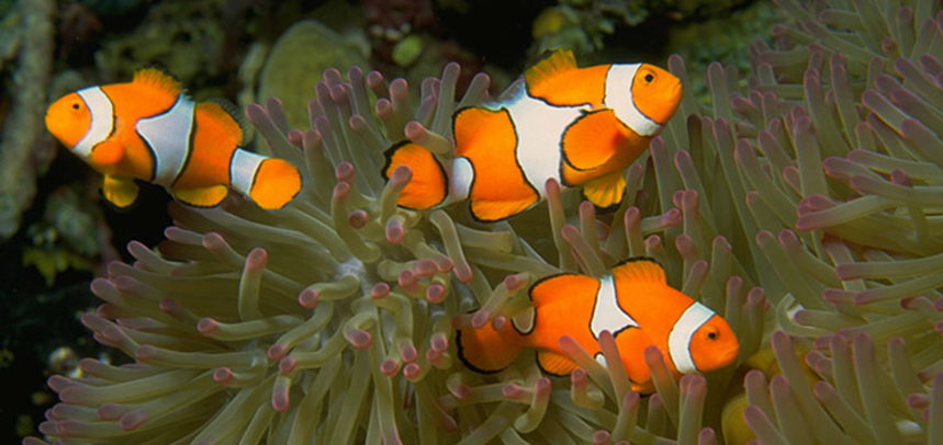 Anemone Reef diving - nemo
