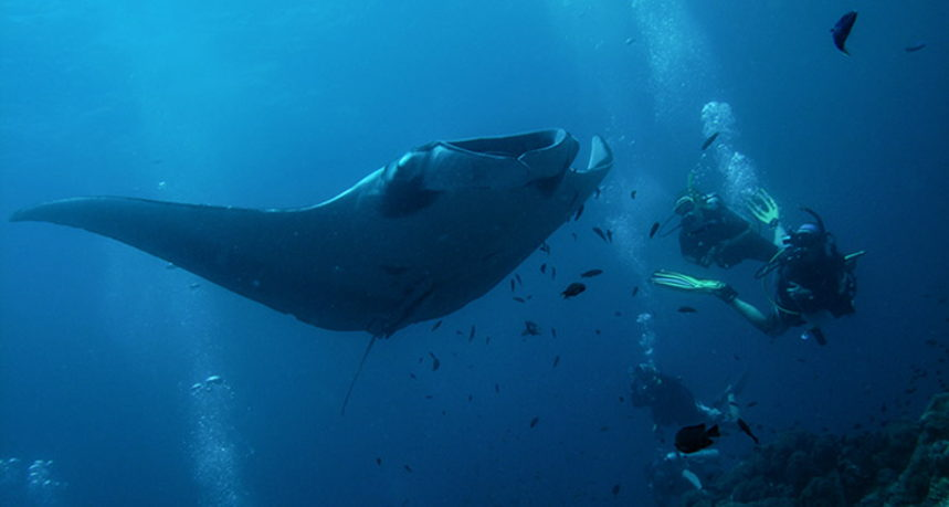 Hin Muang Diving - Divers with Manta Ray