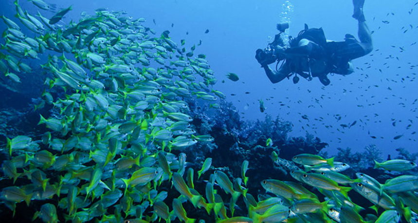 Hin Muang Diving - Schools of Snappers