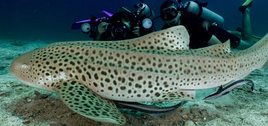 King Cruiser Wreck Diving Phuket - Leopard Shark