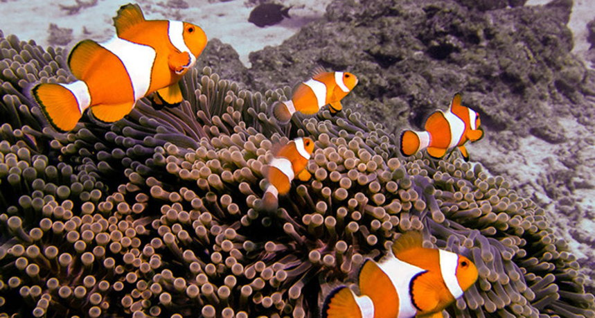 Phi Phi Islands Diving - Ko Bida Nai Clown Fishes