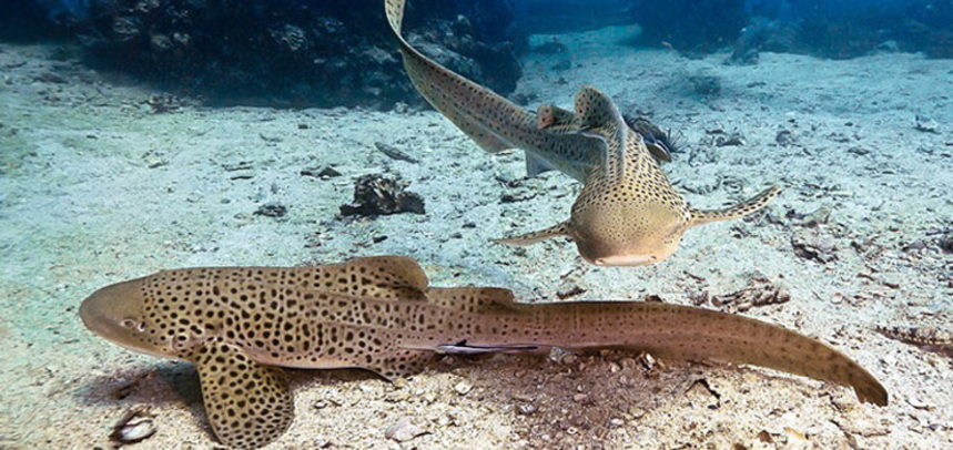 Shark Point diving - couple of leopard sharks