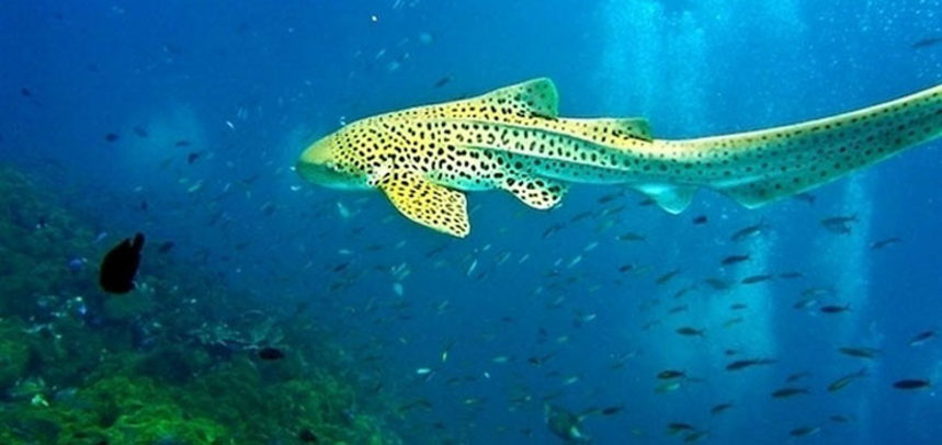 Shark Point diving - leopard shark swimming
