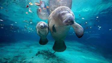 Scuba Diving Phuket - Andaman Sea marine life - Dugong
